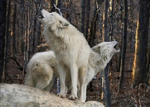 Lupi bianchi ululanti