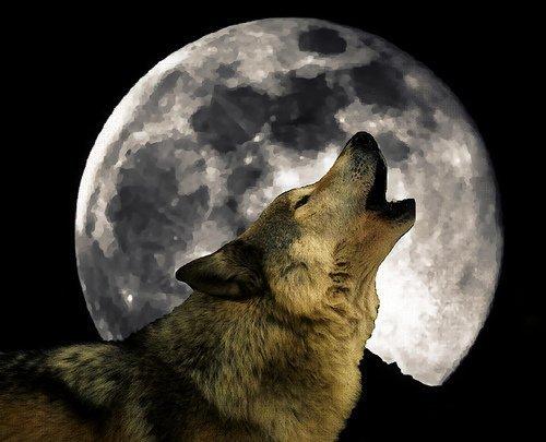 Il lupo ulula alla luna