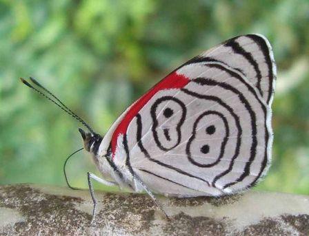 Farfalla 88